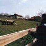 Мало ботуњско стадо. Покушај фамилије Живковић да обнови сточарство у овом запуштеном и остављеном шумадијском селу.