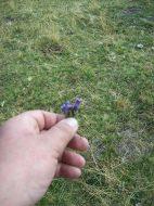Заспанка (Наталијина рамонда), цвет који расте само на Кајмакчалану